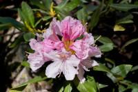 Розовые рододендроны в ущелье Птыш